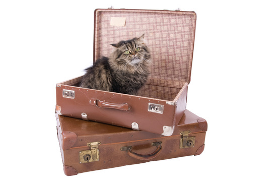 Persian cat sitting in vintage suitcase